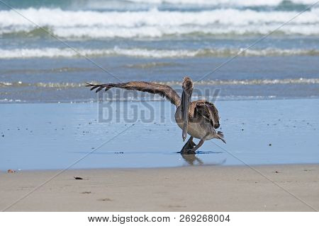Brown Pelican Spreads A Wing On The Beach At Playa Hermosa On The Pacific Coast Of Nicaragua, Centra