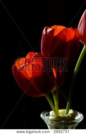 Tulip 2 Copy