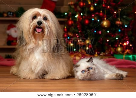 Cheerful Bichon Havanese Dog And A Colorpoint Kitten In Front Of A Christmas Tree