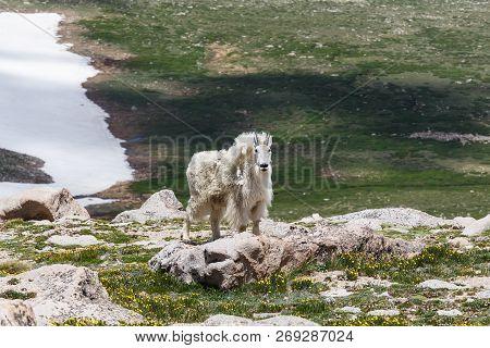Colorado Wildlife - Wild Mountain Goats On Colorado Mountain Peaks.