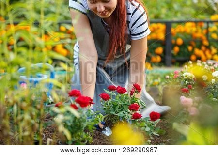 Photo of agronomist woman planting roses in garden