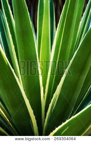 Succulent Century Plant Close-up, Thorn And Detail On Leaves Of Caribbean Agave