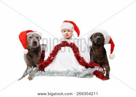Two Thai Rifgbeck Dogs In Christmas Caps With Baby