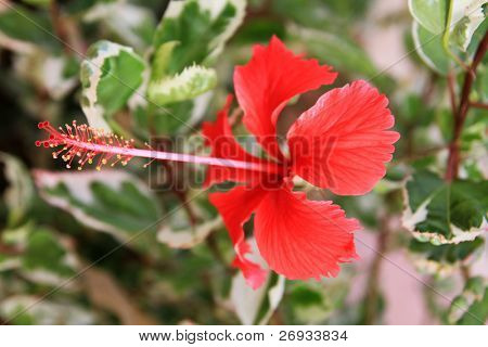 Red hibiskus - tropical flower
