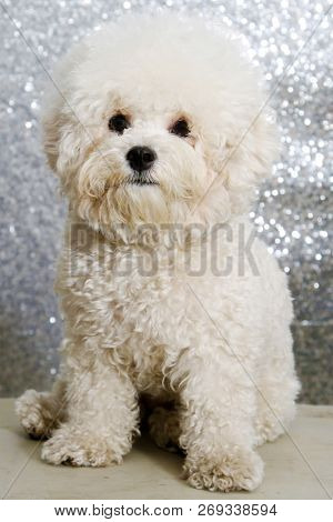 Bichon Frise dog. A beautiful Purebred Bichon Frise Puppy sits against a Silver Sequin Background. Christmas Puppy. Mans Best Friend. Animals and wildlife. Pets and family members.