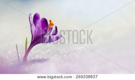 Amazing Sunlight On Spring Flower Crocus. View Of Magic Blooming Spring Flowers Crocus Growing In Wi