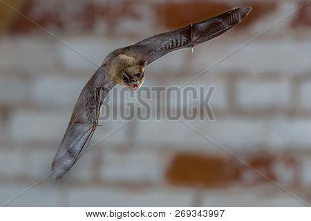 Male Pipistrelle Bat (pipistrellus Pipistrellus) Close Up. Flying In Urban Setting Against White Bri