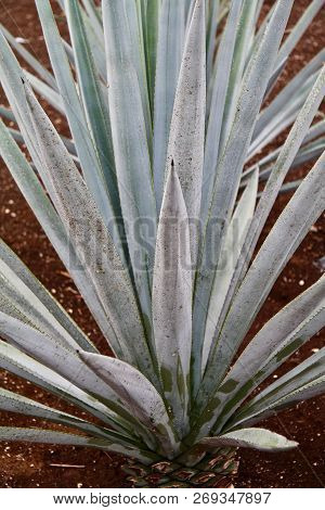 Blue Agave Plants Used To Make Tequila In Mexico