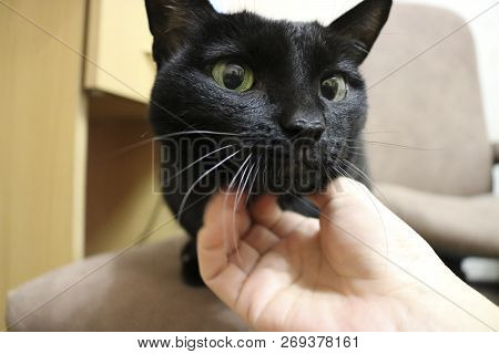Black cat on the floor - Fluffy and cunning pet with large round eyes. On the face - perplexity and surprise. The owner caresses the cat. poster