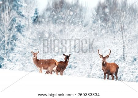 A group of beautiful male and female deer in the snowy white forest. Noble deer (Cervus elaphus).  Artistic Christmas winter image. Winter wonderland. poster