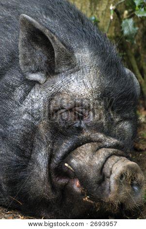 Sleeping Pot-Bellied Pig
