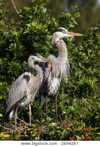 Family Of Herons