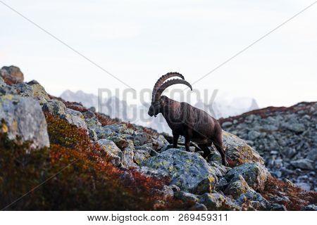 Alpine Carpa Ibex (wild goat) in the France Alps. Monte Bianco range with Mont Blanc mountain on background. Vallon de Berard Nature Preserve, Chamonix, Graian Alps. Landscape photography
