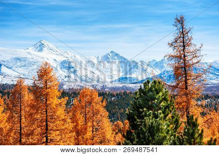 Snow-covered Mountains Of North-chuya Ridge And Yellow Autumn Forest In Altai Republic, Siberia, Rus