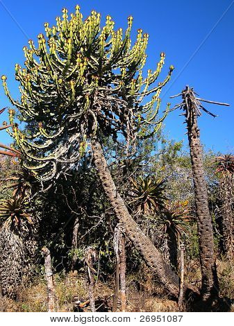 Transvaal candelabra tree (Euphorbia cooperi) in South Africa