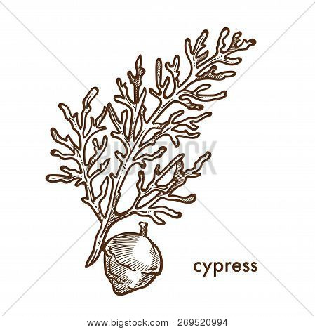 Cypress Branch Of Plant With Leaves And Berries