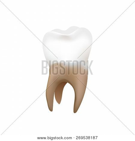 Bright Realistic Premolar, Human Tooth Isolated On White