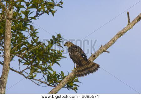 Sharpshinned Hawk Perched