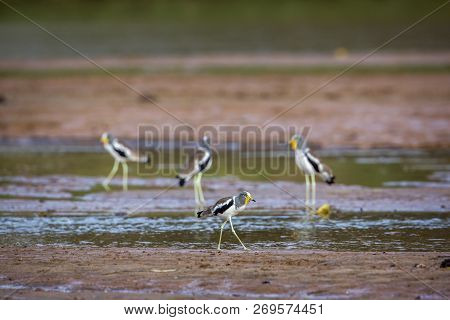 Group of White headed Lapwing wading in Kruger National park, South Africa ; Specie Vanellus albiceps family of Charadriidae poster