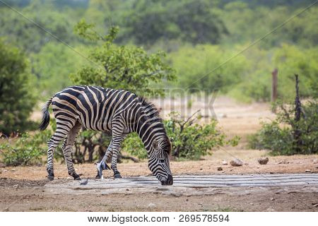 Plains Zebra Drinking In Pond In Kruger National Park, South Africa ; Specie Equus Quagga Burchellii
