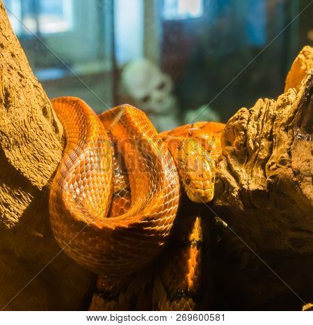 red orange corn rat snake on a branch in the terrarium with a creepy skeleton in the background poster