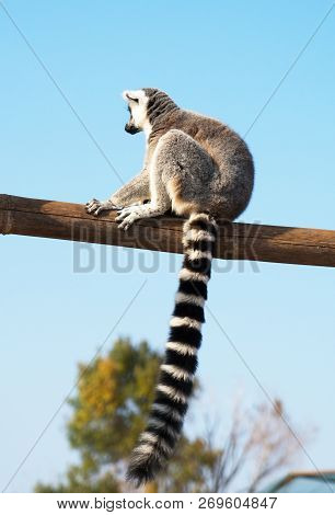 A Ring-tailed Lemur In The National Park.