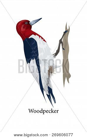 Woodpecker Bird With Black And Red Feather