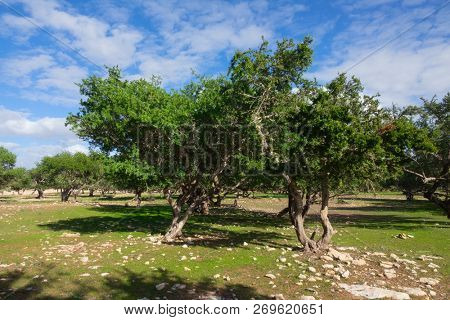 Argan trees (Sapotaceae, Argania spinosa) in their natural habitat - in Morocco