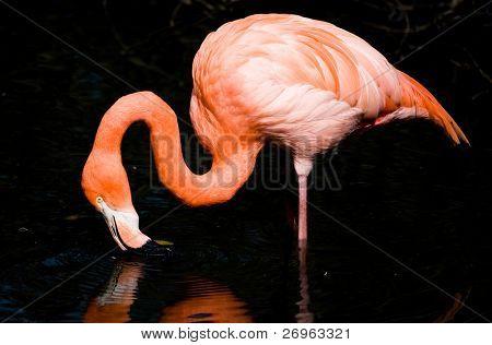 Flamingo isolated on black