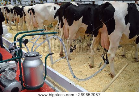 Moscow, Russia - October, 2016: Automatic Cow Milking Using A Milking Machine. Demonstration In The