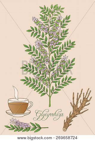 Herbs, Spices And Seasonings Collection. Vector Hand Drawn Illustration Of Glycyrrhiza Plant.