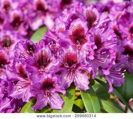 Rhododendron Hybrid Orakel (rhododendron Hybride), Close-up To The Flower Head