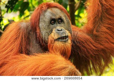 Portrait Of Male Sumatran Orangutan (pongo Abelii) In Gunung Leuser National Park, Sumatra, Indonesi