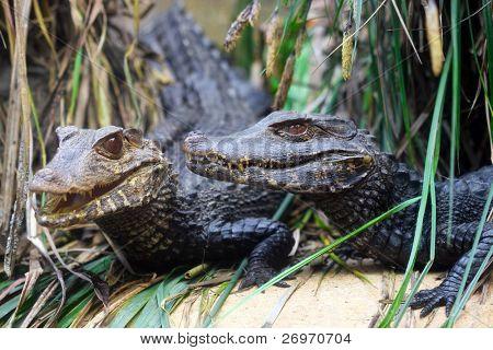 Hunting alligator poster