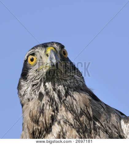 Northern Goshawk in closeup against a blue sky poster