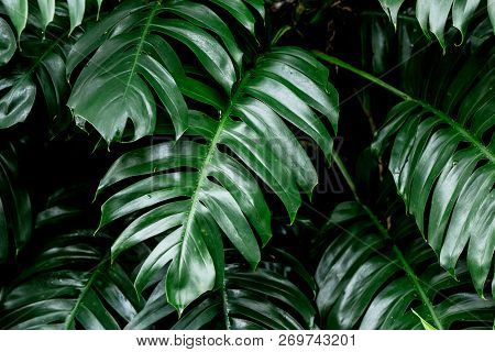 Tropical Deep Forest Leaves Jungle Leaves Green Plant Wet In Rainforest.