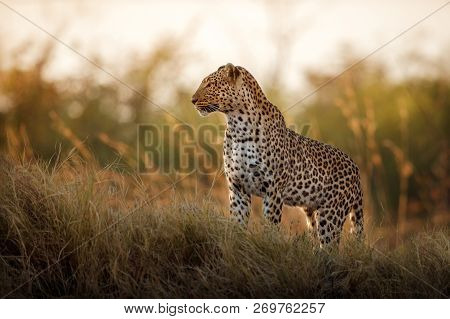African Leopard Female Pose In Beautiful Evening Light. Amazing Leopard In The Nature Habitat. Wildl