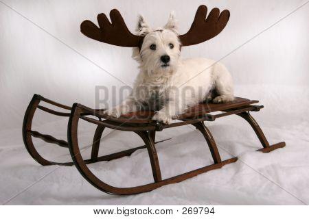 Westie Reindeer Ii