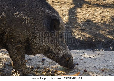 Boar,tusker Looking Food In The Mud. Wild Boar, Also Known As The Wild Swine,eurasian Wild Pig, Or S