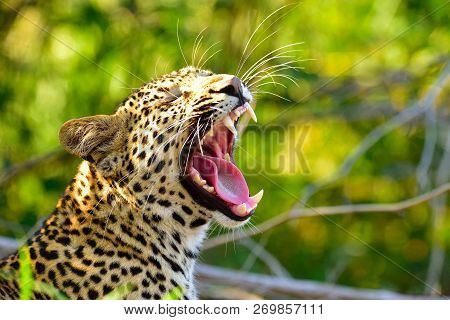 Yawning Male Leopard Waking Up From His Nap Taken On Safari In South Africa