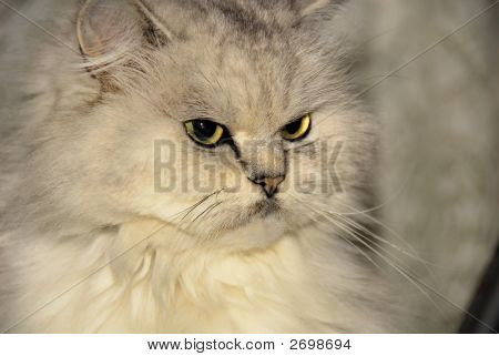 portrait of a beautiful white chinchilla cat poster
