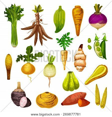 Root Vegetables Or Veggie Tuber Icons. Vector Sweet Potato, Radish Or Turnip And Legume Bread Beans,