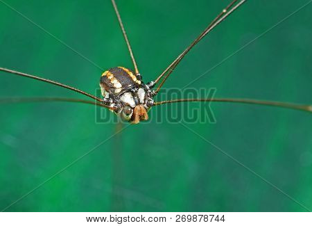 Macro Photography of Harvestmen or Daddy Longlegs Isolated on Colorful Background poster