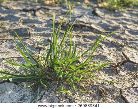 Brown Parched Land With Cracks Due To Dry Climate.  Dry Grass Turf On Hard Dry Clay. Green Plant Spr