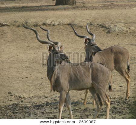 Kudu Bulls Waterhole