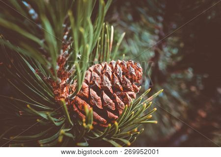 Evergreen Pine Three Branch With One Pine Cone. Fir-tree, Conifer, Spruce Close Up, Blurred Backgrou
