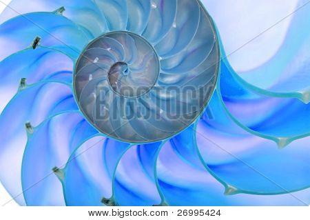 Detailed photo of a halved backlit  shell of a chambered nautilus (Nautilus pompilius). Blue tint