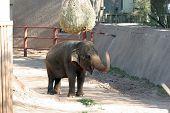 Elephant blowing and walking in Phoenix Zoo AZ poster