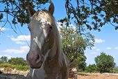Portrait of a piebald mare in countryside. poster