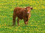 Irish cow on the idyllic meadow with dandelion poster